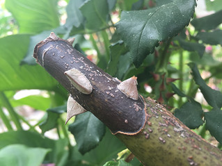 Stumped by Cane Canker?