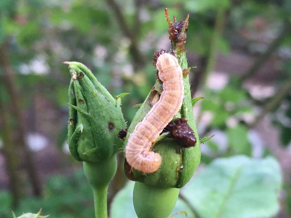 Bud worm