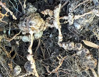 Nematodes - Underground Root Destroyers