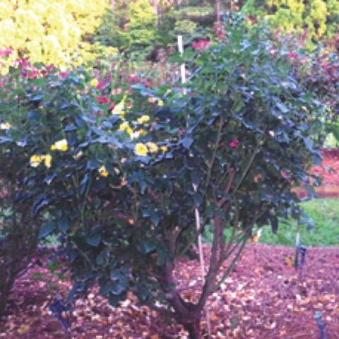 Large bush