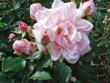 Pretty Pemberton Roses