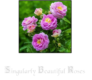 Singularly Beautiful Roses: Spring 2018