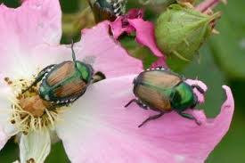 Japanese Beetles on a rise