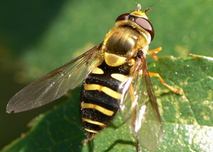 """""""Hover fly"""" - Syrphid fly adult"""