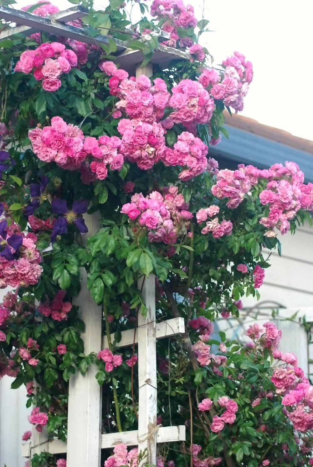 Climber 'Gardendirektor Otto Linne' is a very disease resistant rose in Dr. Sridharan's garden, phto Dr. Sridharan