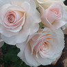 The Abundant Roses of J & P