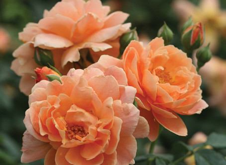 2018 New Rose Introductions