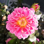 Treasure Trail: The Charm of a Modern Moss Rose