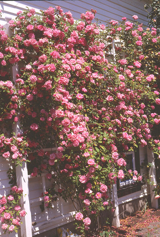 Suggested Pruning Techniques for Old Fashioned Roses