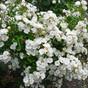 Dozens of Disease-Resistant Roses