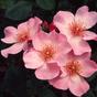 The Prolific Poulsen Roses