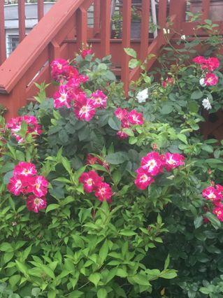 Growing Roses in Pots — Winterizing Your Roses
