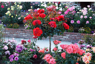 Our Rosy World - Belendez Rose Garden Tour