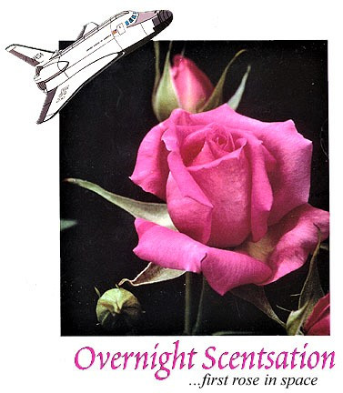 'Overnight Scentsation', photo courtesy Suzanne Horn