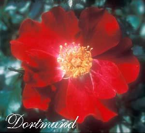 Aren't All Roses Shrubs?