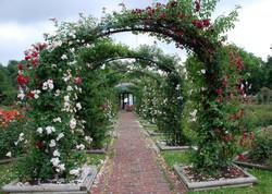 1st 10C_Gustave Banks_Mills Rose Garden