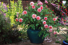 Irrigation Water and Alkalinity in Potted Roses