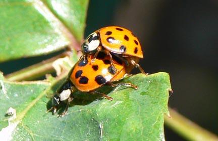 Mating ladybug beetles
