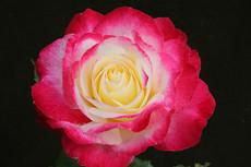 Spectacular Swim Roses