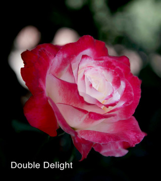 Queen of Flowers - Hybrid Teas
