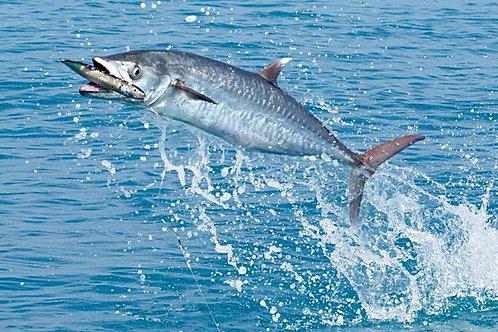 Kingfish Sponsor