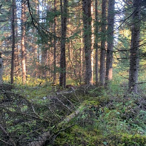 fallen tree.png