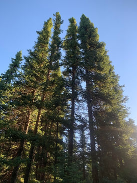 Black Spuce Trees.jpg
