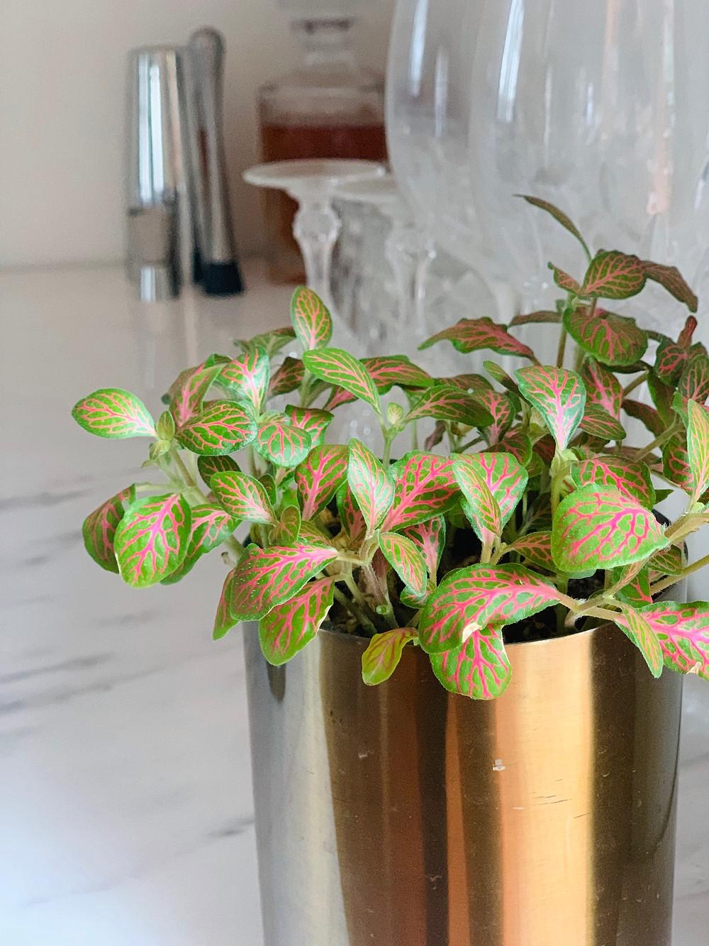Nerve Plant, Indoor Plant, Landscaper Brisbane