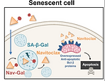 Galacto‐conjugation of Navitoclax as an efficient strategy to increase senolytic specificity and reduce platelet toxicity