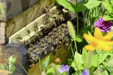 Beekeeping Mornington Penisula