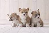 3 corgi pups.jpg