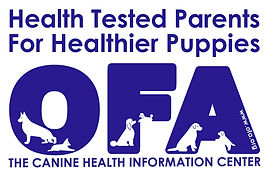 OFA CHIC tested English Springer Spaniel