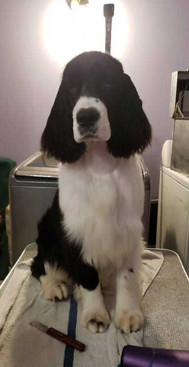 English Springer Spaniel grooming