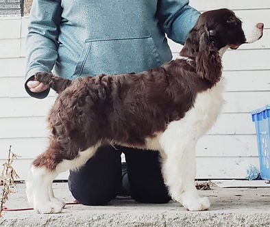 Available Liver and White English Springer Spaniel puppy Ontario Canada