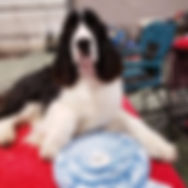 Trojh English Springer Spaniel with Best in Show ribbon
