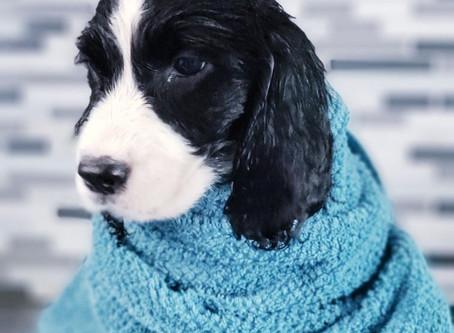 Covid 19 Puppy Inquiries