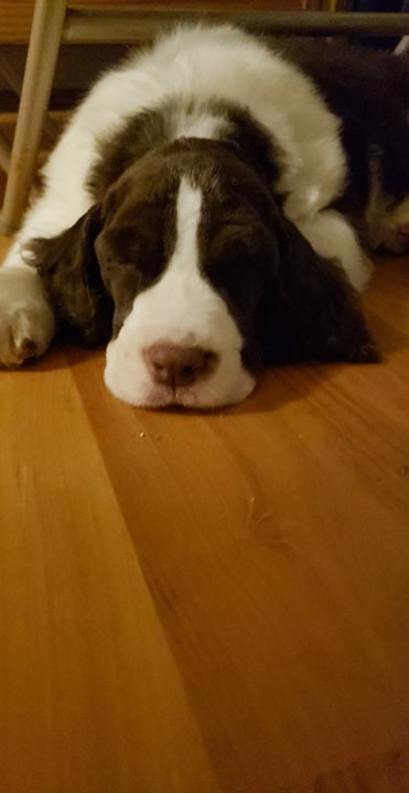Sleeping English Springer Spaniel Switch