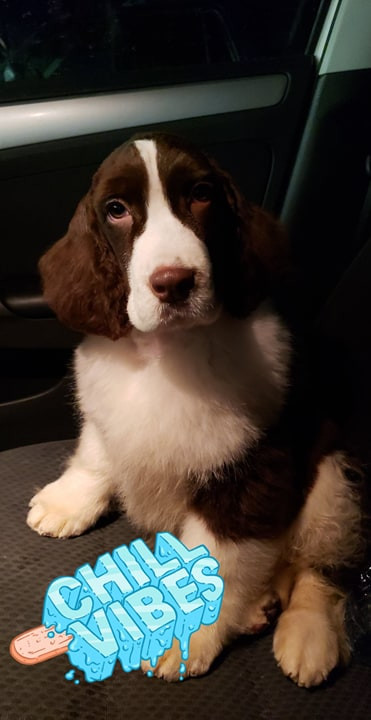 Liver and White English Springer Spaniel ontario breeder