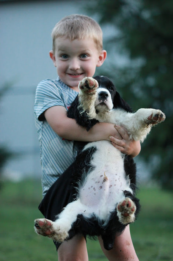 Springer Spaniel puppy held by child
