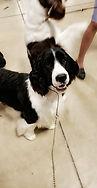 English Springer Spaniel show dog Ontario