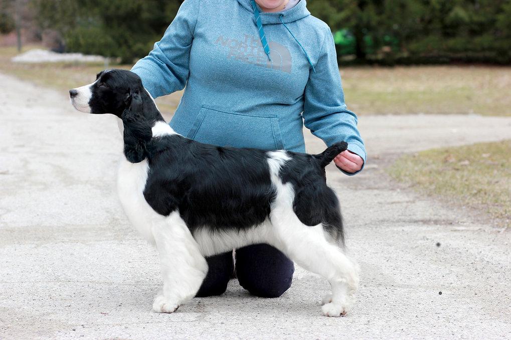 English Springer Spaniel breeder ontario