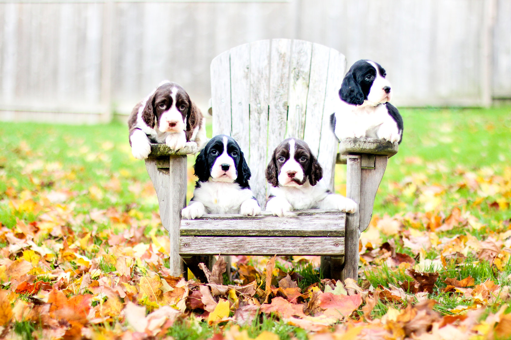 english springer spaniel puppies in fall