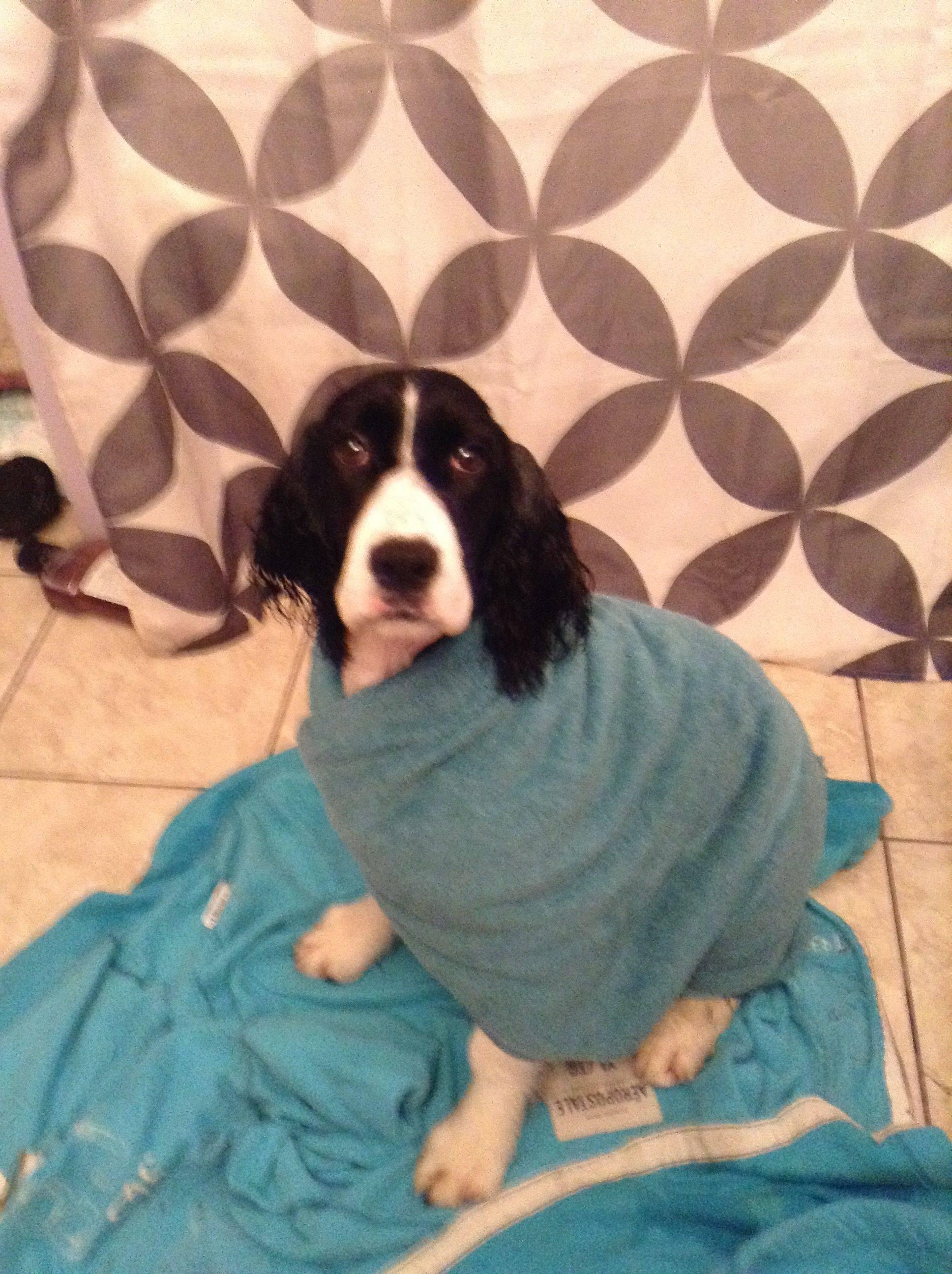 Springer Spaniel towel