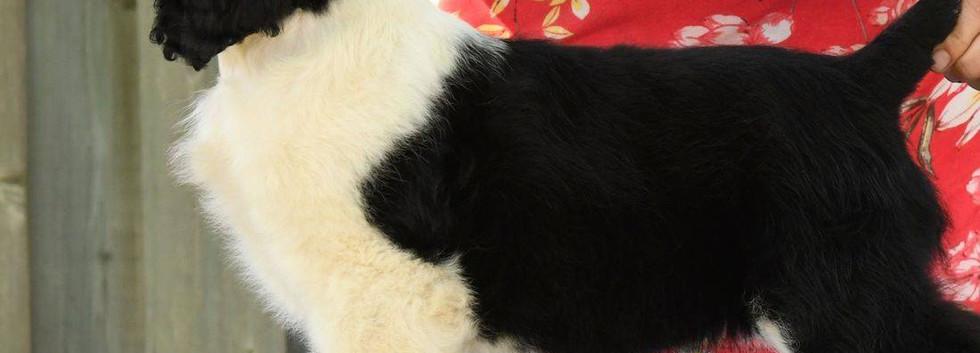 English Springer Spaniel breeder evaluation at 9 weeks Ontario