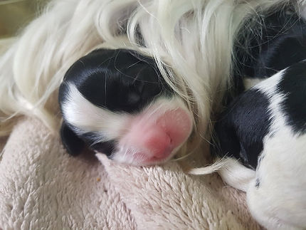English Springer Spaniel new puppy!