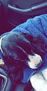 English Springer Spaniel sleeping