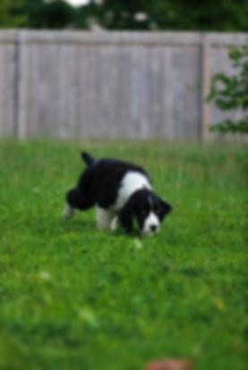 English Springer Spaniel puppy tracking breeder in ontario