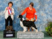 English Springer Spaniel bred by Trojh English Springer Spaniels Ontario Canada