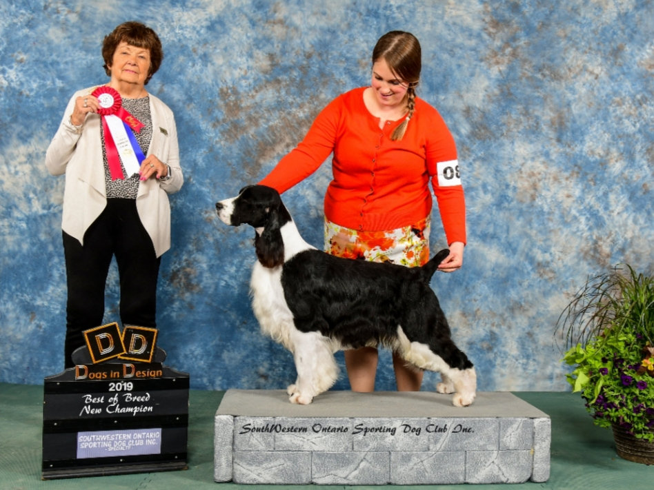 English Springer Spaniel bred by Trojh English Springer Spaniels Ontario Canada