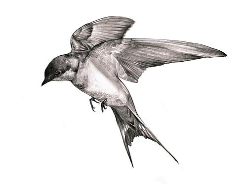 Swallow in Flight (Original Drawing)